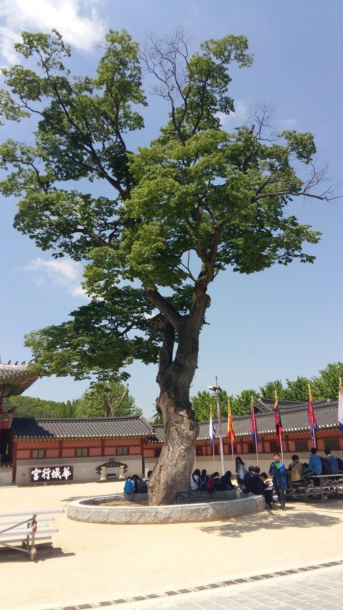 Hwaseong Haenggung Palace tree